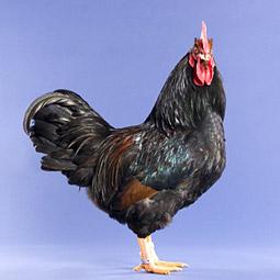 Spanish Chicken Alive
